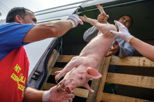 Thanks to the reduction of value added tax, Hungarian pork is going to be competitive again