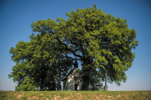 The oldest tree of Bátaszék – a downy oak – was selected as the European tree of the year