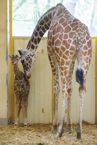 Giraffe born in Debrecen Zoo