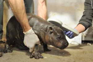 Baby pygmy hippopotamus in Veszprém Zoo