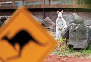 Kangaroo enclosure opens in Győr Zoo