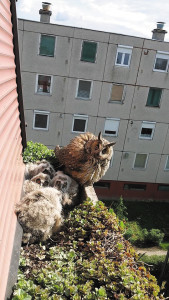 Owl and its four chicks nest in side of a panel building in Battonya