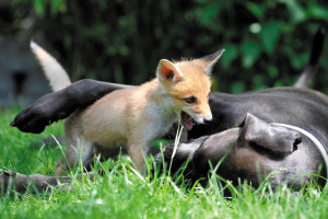 Pixi, the orphaned fox, is raised by a family dog in Pomáz