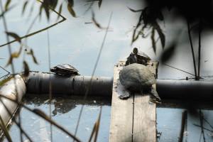 A fővárosi állatkertbe kerülnek a Feneketlen-tóból eltávo