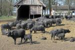 mm_bison