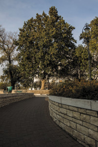 "Plane tree in Jászai Mari tér selected as ""tree of the Year"""
