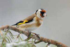 Goldfinch selected as bird of 2017