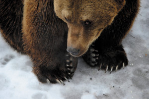 Tibor, the bear of the Budapest Zoo did not see his shadow on 2 February, which according to tradition means that winter won't be long