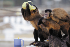 A tufted capuchin drinking warm tea in Budapest Zoo