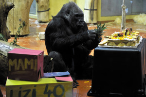 Liesel, the oldest gorilla of the Budapest Zoo, turns 40